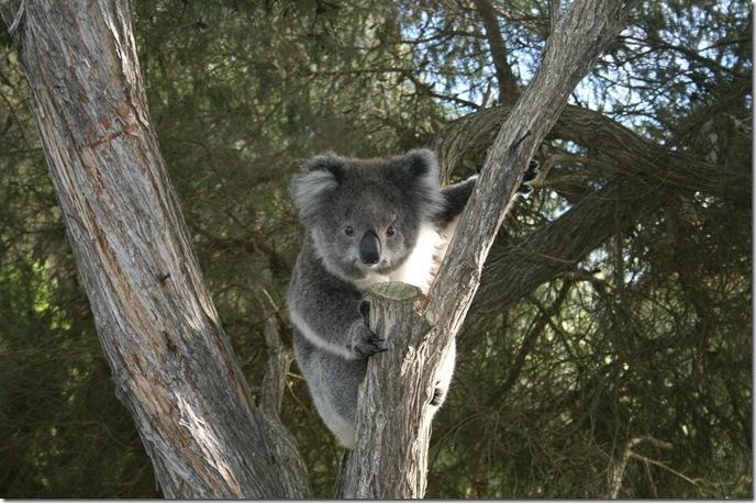 koala-262651_1280