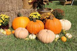 pumpkins478178_640.jpg